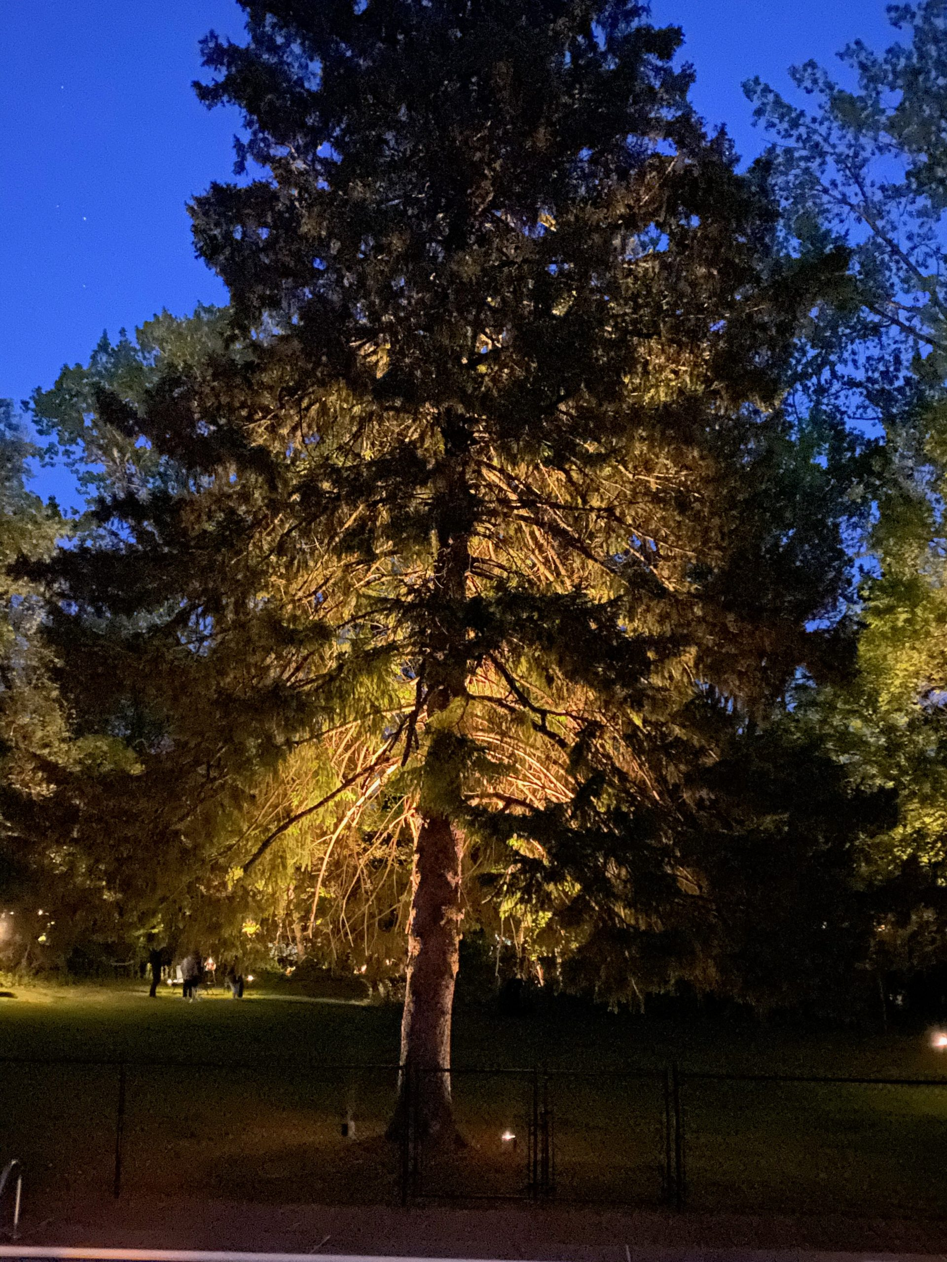 evergreen tree lighting outside picture